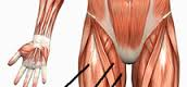 3 different muscles (hamstring)