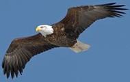 Bald Eagle is endagered