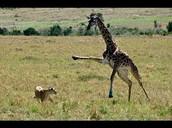 giraffe kicking