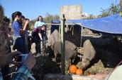 The Pigs Eating Pumpkins!