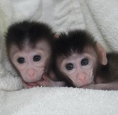 New Biotechnology makes the genetic modification of a primate possible