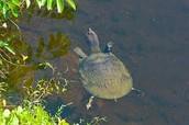 The Everglade Turtle