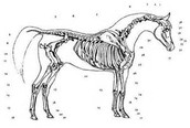 How many bones can a horse have?