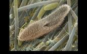 paramecium protozoan
