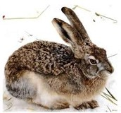 Woolly Hares