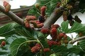 תותי עץ