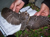 flammulated owls wing span