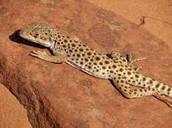 leopard lizzard