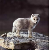 This is a baby wolf.