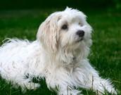 כלב מסוג מלטז