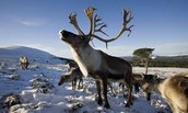 Remarkable Reindeer Facts