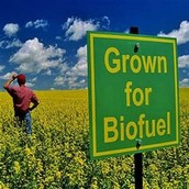 Grown for Biofuel