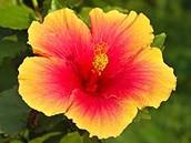 Hawaiian State Flower.