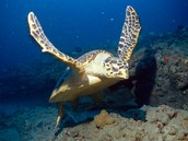 Facts about Hawksbill Turtles!!!!