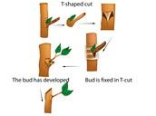 T-shape Budding