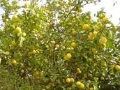 עץ הלימון