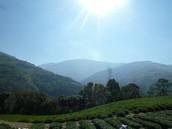 茶園產地-梨山支線之紅香部落