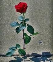 A rose in the concrete