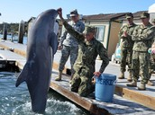 """""""Dolphins, sea lions train for Navy deployment to overseas trouble spots"""""""