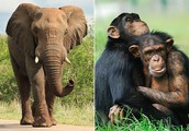 Elephants Vs. Chimpanzees Vs. Humans
