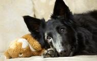 A dog with arthritis