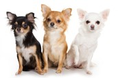 How to take care of a chihuahuas