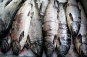 Chinooks main food source salmon!