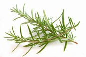 The Herb Rosemary