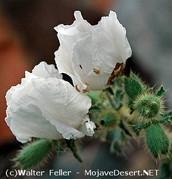 The Prickly Poppy