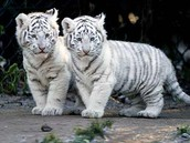 White tigers left their mother