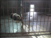 This panda is locked up for peaceful sleeping