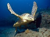 An Overview of the Hawksbill Turtle
