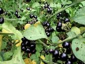 Black huckle    berry