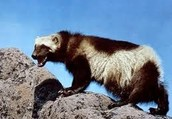 Wolverines are awesome
