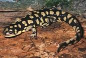 Water Dog Salamander