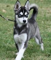 Siberian husky taking a walk