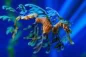 Blue and Orange Leafy Sea Dragon