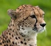 Father Cheetah