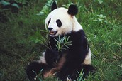 This is a cute innocent panda