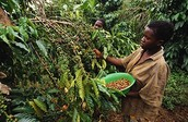 Coffee produced in Uganda