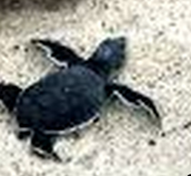 A fully grown Green Sea Turtle