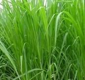 various sweet grasses