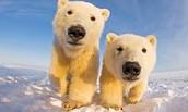 Poplar Bear's