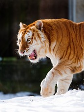 The gloden tiger is a very cool animal