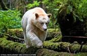 Spirit bear.