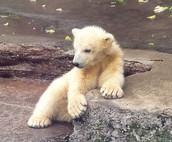 polar bear picture 2