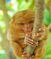 sleeping tarsier