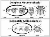 Complete Metamorphosis VS Incomplete Metamorphosis