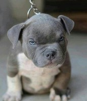 Pitbulls Are Some of the Nicest Dogs