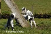 De geiten lammetjes